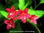 Lucifer Weigela