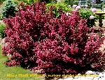 Verweig-3 Minor Black Weigela