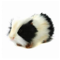 Hansa Black and White Guinea Pig