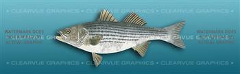 Striped Bass Light Blue Fishing Rear Window Graphic