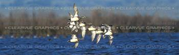 American Wigeon Hunting Rear Window Graphic