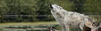 Grey Wolf Wildlife Rear Window Graphic