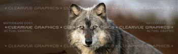 Wolf Portrait Wildlife Rear Window Graphic