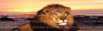 Beach Lion Wildlife Rear Window Graphic