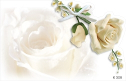 White rose (Pack of 50 enclosure cards)