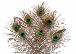 "10""-20"" Peacock Feathers (Pack of 10)"