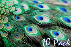 "40"" Peacock Feathers (Pack of 10)"