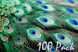 "40"" Peacock Feathers (Pack of 100)"
