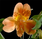 Orange queen - Alstroemeria - 120 stems