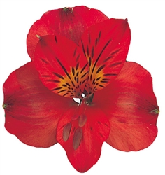 Sacha (Red) - Alstroemeria - 120 stems