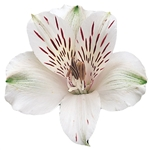 Virginia (White) - Alstroemeria - 120 stems
