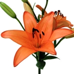 Orange - Asiatic Lily - 60 Stems