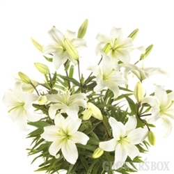 White - Asiatic Lily - 60 Stems