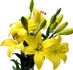 Yellow - Asiatic Lily - 60 Stems