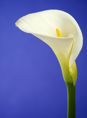 bow white calla lilly