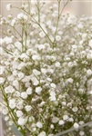 Babys Breath Filler - 8 Bunches (New Love variety)