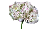 Jumbo Antique Green Hydrangea - 36 Stems