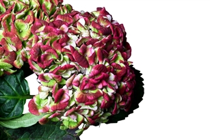 Magical Revolution Hydrangea - 36 Stems (VERY RARE AND BEAUTIFUL)