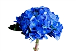 Shocking Blue Curacao Hydrangea - 50 Stems