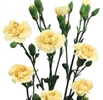 Cream - Mini Carnations - 160 stems