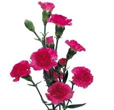 Hot Pink - Mini Carnations - 160 stems