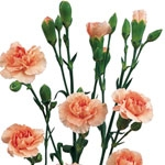 Peach - Mini Carnations - 160 stems