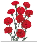 Red - Mini Carnations - 160 stems