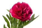 Hot Pink Peony Flower - 50 Stems