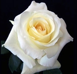 "Anastasia White Rose 20"" Long - 100 Stems"