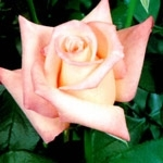 "Anna Light Pink Rose 20"" Long - 100 Stems"
