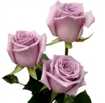 "Avant Garde Lavender Rose 20"" Long - 100 Stems"