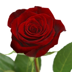 "Black Magic Red Rose 20"" Long - 100 Stems"