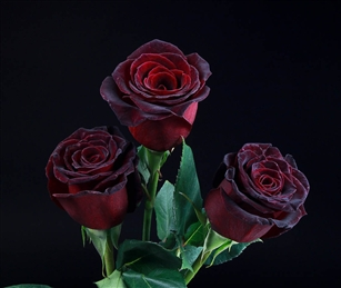 """Black Baccara"" Red Rose 20"" Long - 100 Stems"