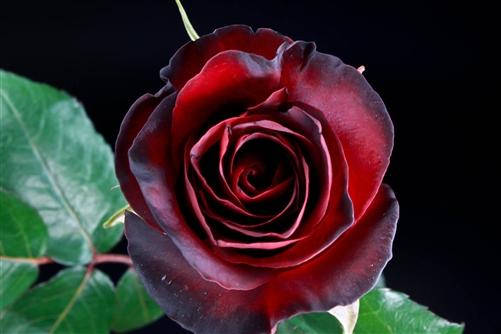 Quot Black Pearl Quot Red Rose 20 Quot Long 100 Stems