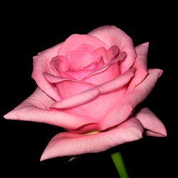 "Blushing Akito Light Pink Rose 20"" Long - 100 Stems"