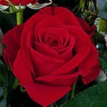 "Charlene Red Rose 20"" Long - 100 Stems"