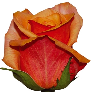 "Chili's Bi-Color (Orange/salmon) Rose 20"" Long - 100 Stems"