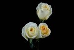 "Creme de la Creme (Yellowish tint) Rose 20"" Long - 100 Stems"