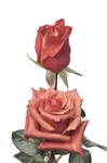 "Dark Milva Rose 20"" Long - 100 Stems"