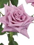 "Deliliah Lavender Rose 20"" Long - 100 Stems"