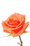 "Donna Orange Wholesale Rose 20"" Long - 100 Stems"