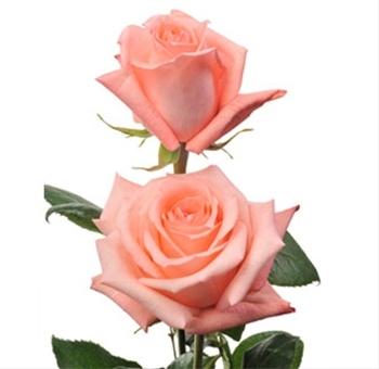 rose pink ring
