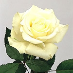 "Escimo White Rose 20"" Long - 100 Stems"