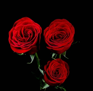 "Freedom Red Rose 20"" Long - 100 Stems"