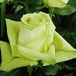 "Green Tea Light Green Rose 20"" Long - 100 Stems"