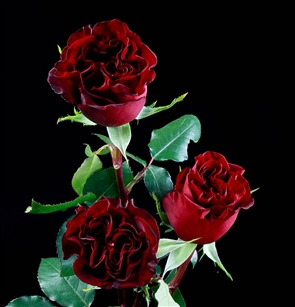 """Hearts"" Red Rose 20"" Long - 100 Stems"