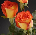 "High Magic Bulk Roses 20"" Long - 100 Stems"