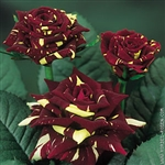 "Hocus Pocus Bulk Roses 20"" Long - 100 Stems"