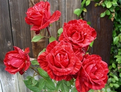 "Intuition Red Rose 20"" Long - 100 Stems"