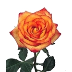 "Konfetti Novelty Rose 20"" Long - 100 Stems"